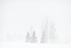 Aspen and Pine trees in a snowstorm