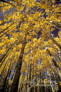 Looking up through an Autumn Colored Aspen Grove