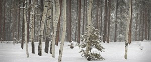 panorama of winter forest scene