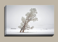 Snowy-cottonwood-trees-dancing