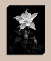 Black-and-White-Columbine-flower