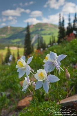 Colorado blue columbine flower blooming