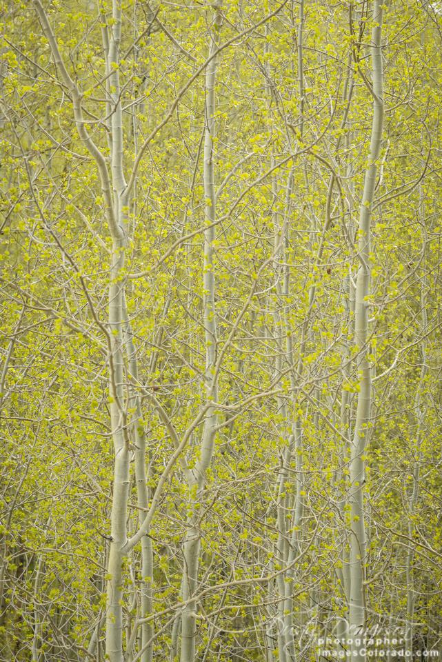 Aspen Greening