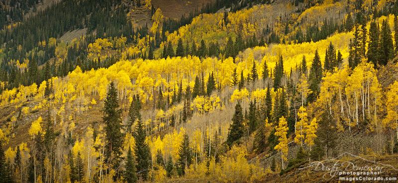 Golden aspen trees on a Colorado mountainside.
