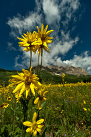 Rocky Mountain Mule's Ears
