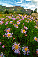 colorado landscape photography - ruby range asters