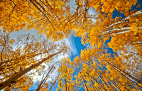 colorado stock photography - wind through autumn aspens