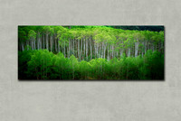 """McClure Spring Aspens"" Canvas gallery wrap"
