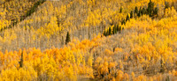 colorado landscape photography - hillside of colorful aspen trees