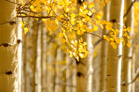 Autumn Aspen Light