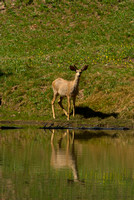 Bambi Reflection