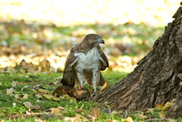 Hawk Eating