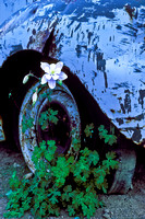 Painter Boy Mine Blue Columbine
