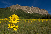 Gothic Mountian Sunflower