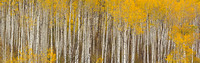 Autumn Aspen Forest Panorama