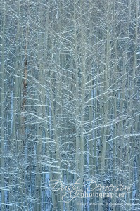 crested butte photographer - snow on bare aspen trees