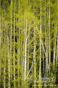 crested butte photographer - new leaves on aspen trees