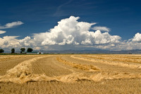 colorado stock photo - wheat harvest