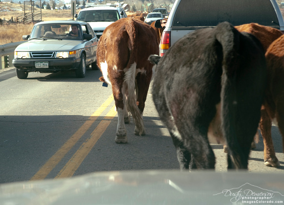 colorado stock photography - highway cattle drive
