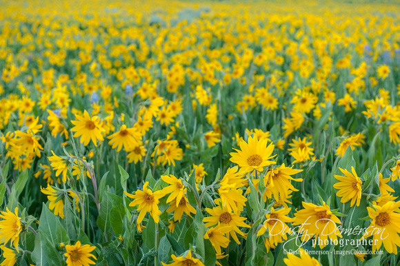 Sunflowers in Crested Butte